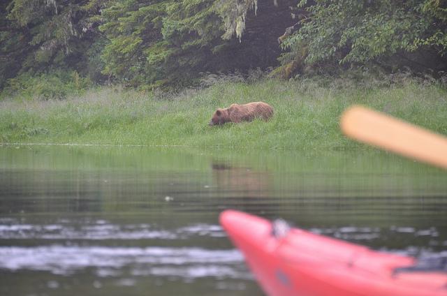 Kalinin Brown Bear